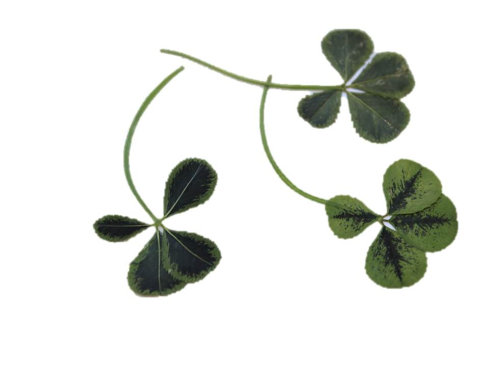 Edible green four-leaf clover