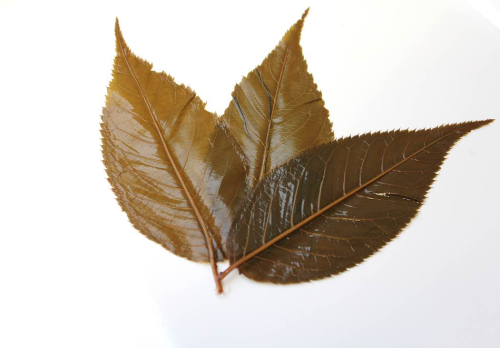 Japanese edible Cherry Leaves